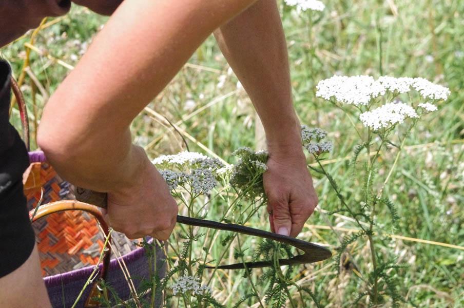 cueillette-fleurileges-des-collines-fleurs-recolte
