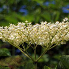 fleur-sureau_tisane-bio_les-fleurileges-des-collines