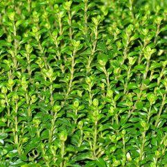thym_tisane-bio_les-fleurileges-des-collines