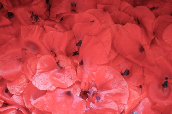 tisane-bio-coquelicot-lesfleurileges-les-fleurileges-des-collines-1