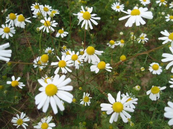 Camomille_matricaria_fleurilegesdescollines-tisane.jpg
