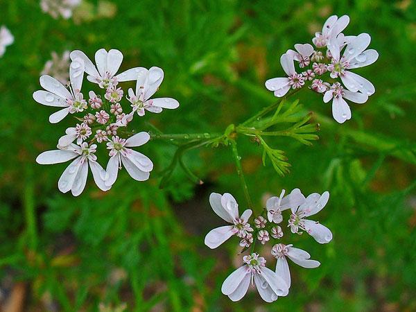 coriandre-coriandrum_sativum_tisane-bio_les-fleurileges-des-collines