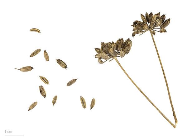 fenouil-foeniculum_vulgare_tisane-bio_les-fleurileges-des-collines