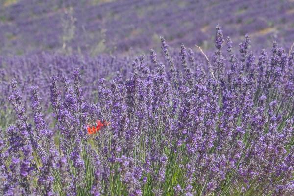 fleurs-lavande-bio-lesfleurileges